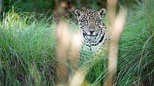 Natural World - 2016-2017: 8. Jaguars: Brazil's Super Cats