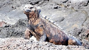 My Pet And Me - Galapagos Special: 1. Marine Iguanas