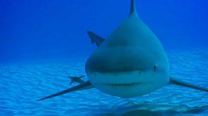 Shark Bites - Series 1: 16. Bull Shark