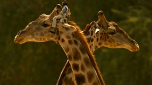 Andy's Safari Adventures - Series 1: 10. Andy And The Giraffe