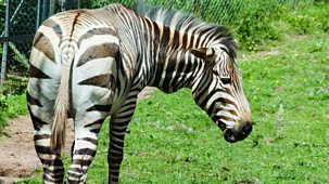 The Zoo - Series 2: 4. Stripy Mcbuttface Rides Again