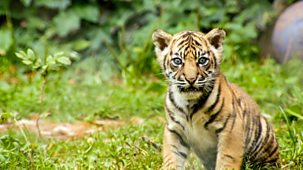 The Zoo - Series 2: 10. The Search Of The Inner Tiger