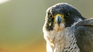 Natural World - 2018-2019: 3. Super Fast Falcon