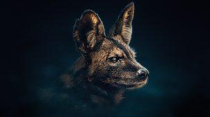 Dynasties - Series 1: 4. Painted Wolf