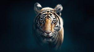 Dynasties - Series 1: 5. Tiger