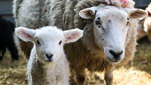 Secret Life Of Farm Animals - Series 1: 1. Sheep