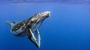 Natural World - 2018-2019: 6. Humpback Whales: A Detective Story