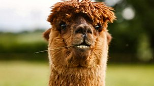 The Farmers' Country Showdown - Series 3 (shortened Versions): 12. Alpacas