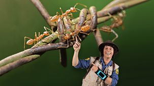 Andy's Safari Adventures - Series 1: 18. Andy And The Weaver Ants