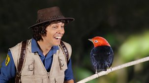 Andy's Safari Adventures - Series 1: 32. Andy And The Manakin