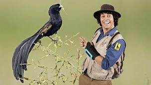 Andy's Safari Adventures - Series 1: 39. Andy And The Jackson's Widowbird
