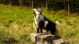 The Farmers' Country Showdown - Series 4 (30-minute Versions): 11. Mid Devon - Goats