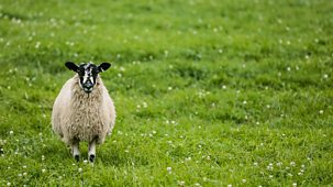 The Farmers' Country Showdown - Series 4 (30-minute Versions): 12. Ryedale - Sheep