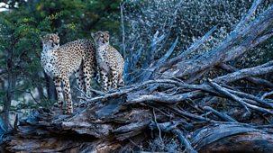 Cheetah Family & Me - Series 1: Episode 2