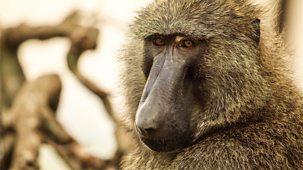 Serengeti Ii - Series 1: 4. Leadership
