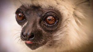 Natural World - 2011-2012: 10. Madagascar, Lemurs And Spies