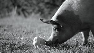 Gunda: Mother, Pig - Episode 15-09-2021