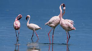 Natural World - 2013-2014: 3. The Mating Game