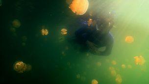 Symbiosis of photosynthetic algae and jellyfish