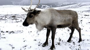 Natural Histories: Reindeer