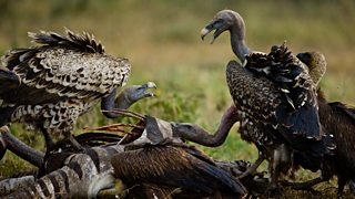 Ruppell's griffon vulture on kill