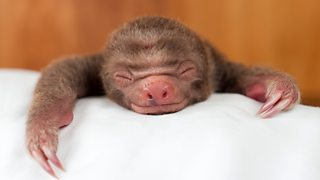 A tiny smile from a baby two-toed sloth