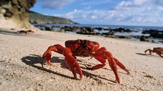 Christmas Island Red Crab.Bbc One Earth S Seasonal Secrets Summer The Stars Of