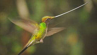 Sword-billed hummingbirds are the only birds in the world to have beaks longer than their bodies.