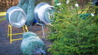 Bbc Radio Ulster Gardeners Corner Christmas Tree Farms Tree
