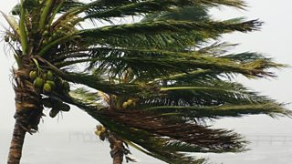 A palm tree in a gale