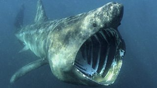 A basking shark swimming underwater with its mouth gaping open