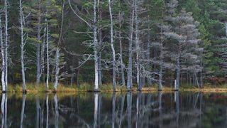 A conferous forest