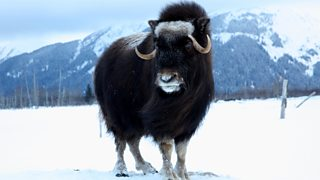 Musk ox in the Arctic tundra