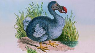 Engraving of an extinct dodo