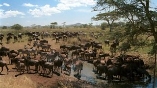 wilderbeest and zebra on the Serengeti