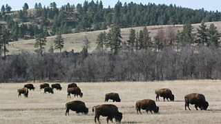 Bison grazing in Custer State Park, South Dakota