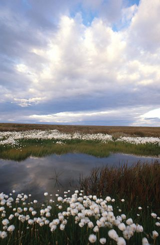 Tundra pond with cotton grass growing nearby, Arctic National Wildlife Refuge, Alaska