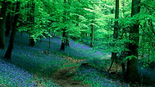 A wood showing ground layer of bluebells and top canopy layer of tall trees
