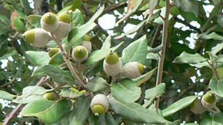 Holm oak leaves and acorns