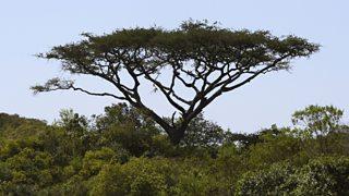 Umbrella Acacia tree