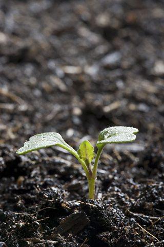 Kale growing in fertile brown earth in the UK