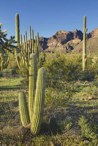 Cactus in Mexico desert