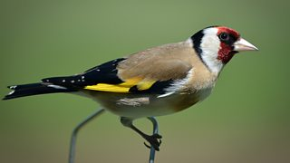 Goldfinch perched on a wire frence