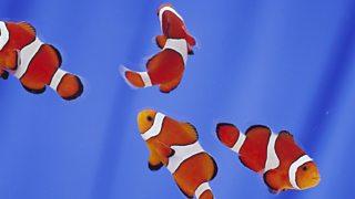 Shoal of clown fish