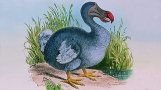 An artist's impression of a Dodo