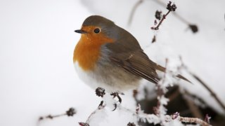 Robin perched on a snow-covered branch