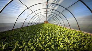 Vegetables growing inside a polytunnel protected from the elements
