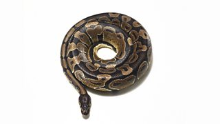 Python coiled up in to a perfect circle