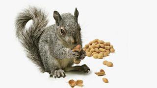 Grey squirrel eating nuts