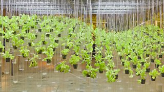 Tomatoes grown using hydroponic system where no soil is used